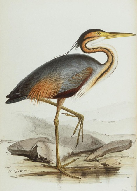 Purple Heron, ardea purpurea