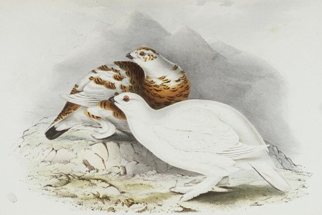 Willow Ptarmigan, Lagopus Saliceti